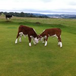Baby calves playing on the Minchinhampton Common
