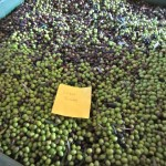 our olives at the press waiting to be processed